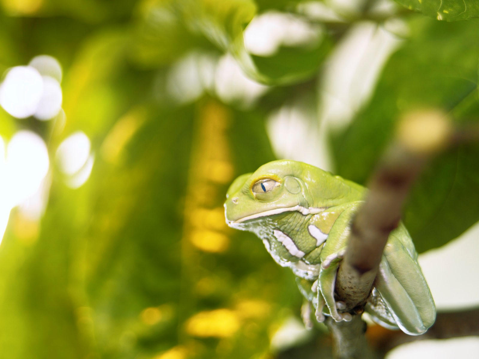 Green Frog Wallpaper Hd