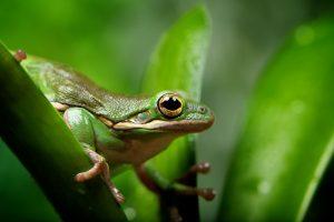 green frog wild