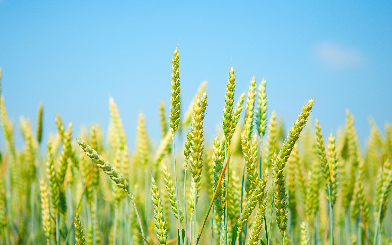 green wheat nature
