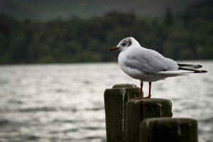 gull wallpaper