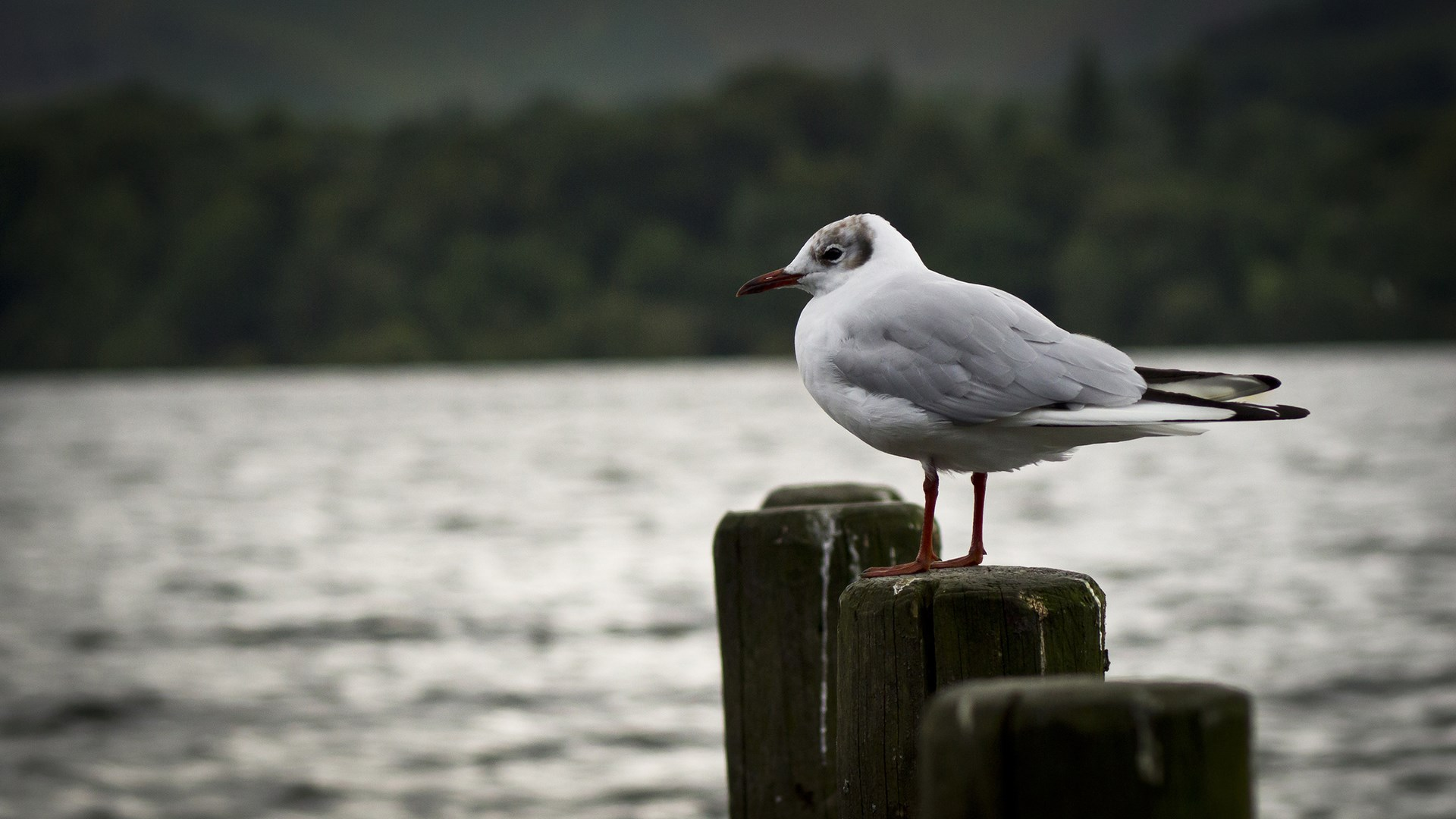 gull wallpaper desktop