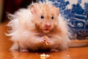hamster funny wallpaper
