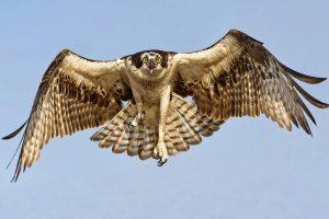 hawk 1080p