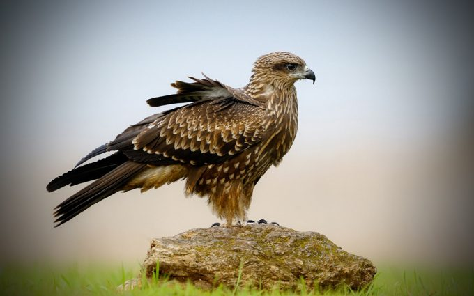 hawk image A1