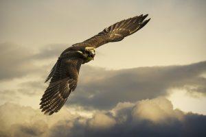 hawk images