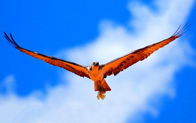 hawk wallpaper A3