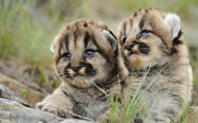 hd cougars