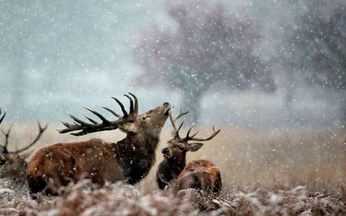 hd deer