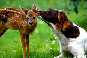 Dog Licking Fawn