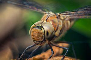 hd dragonfly