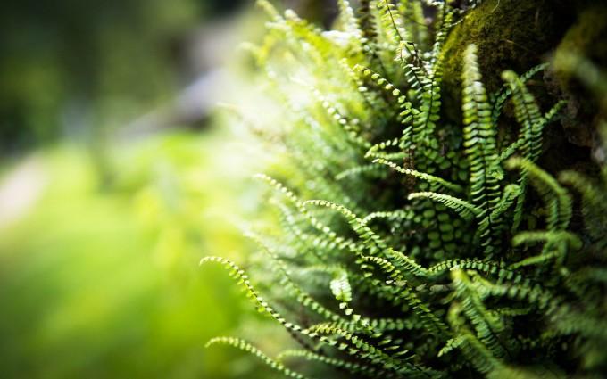 hd fern wallpaper
