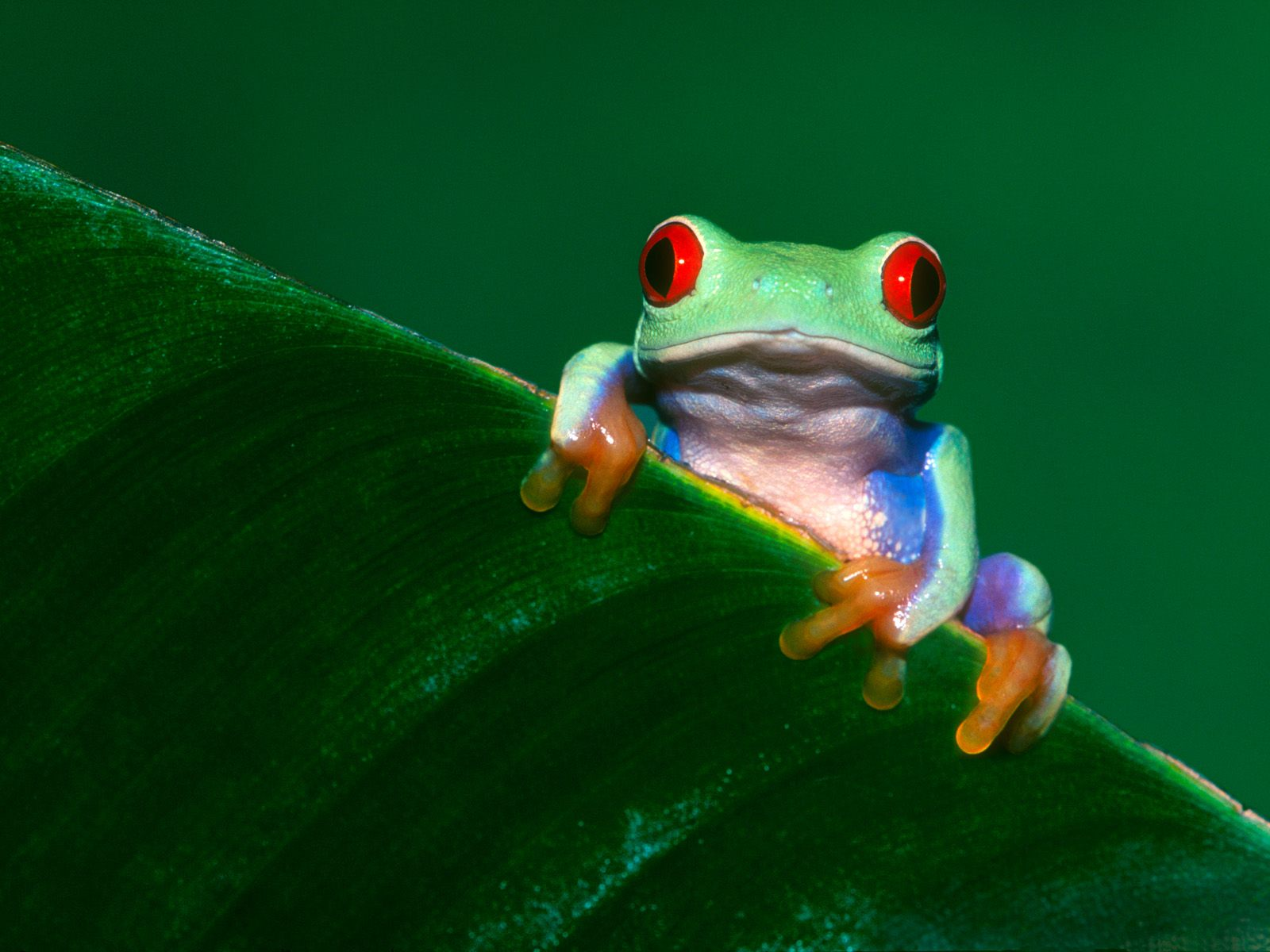 hd frog wallpaper