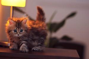 hd kitten wallpaper