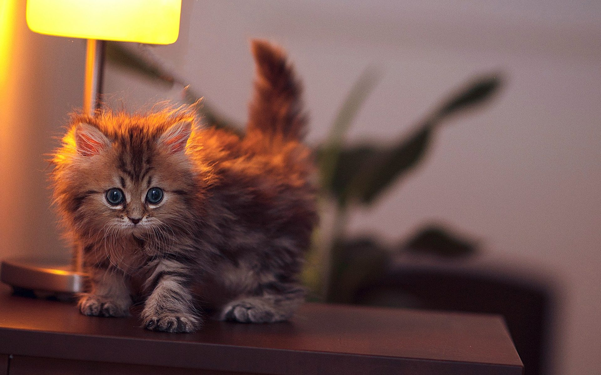 hd kitten wallpaper