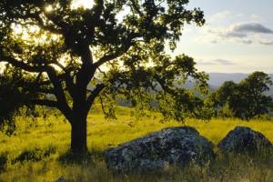hd oak tree wallpaper