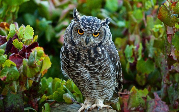 hd owl wallpaper
