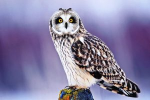 hd owl wallpapers