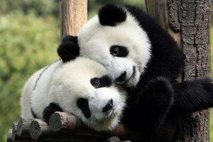 hd panda wallpaper