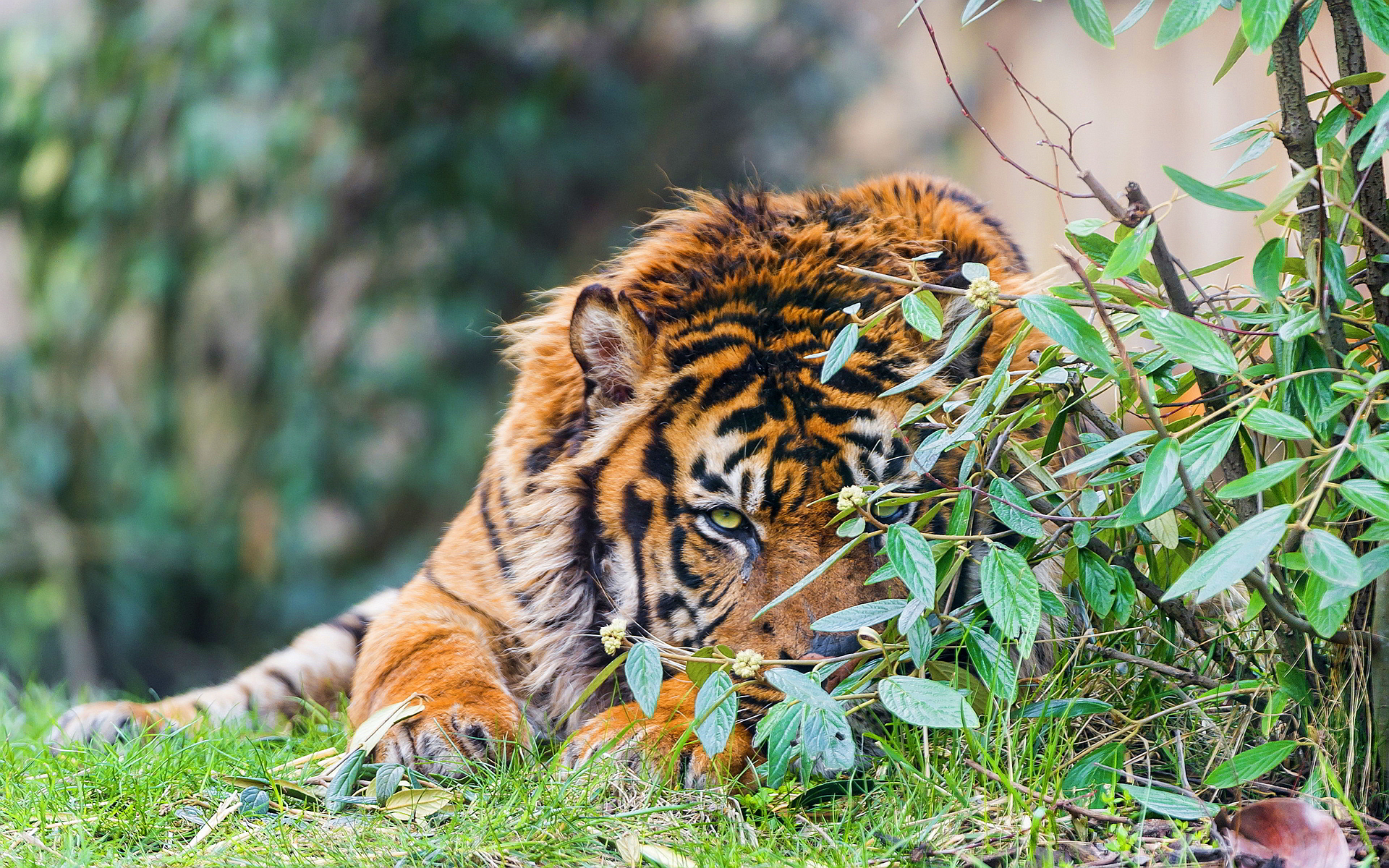 hd pictures of tigers