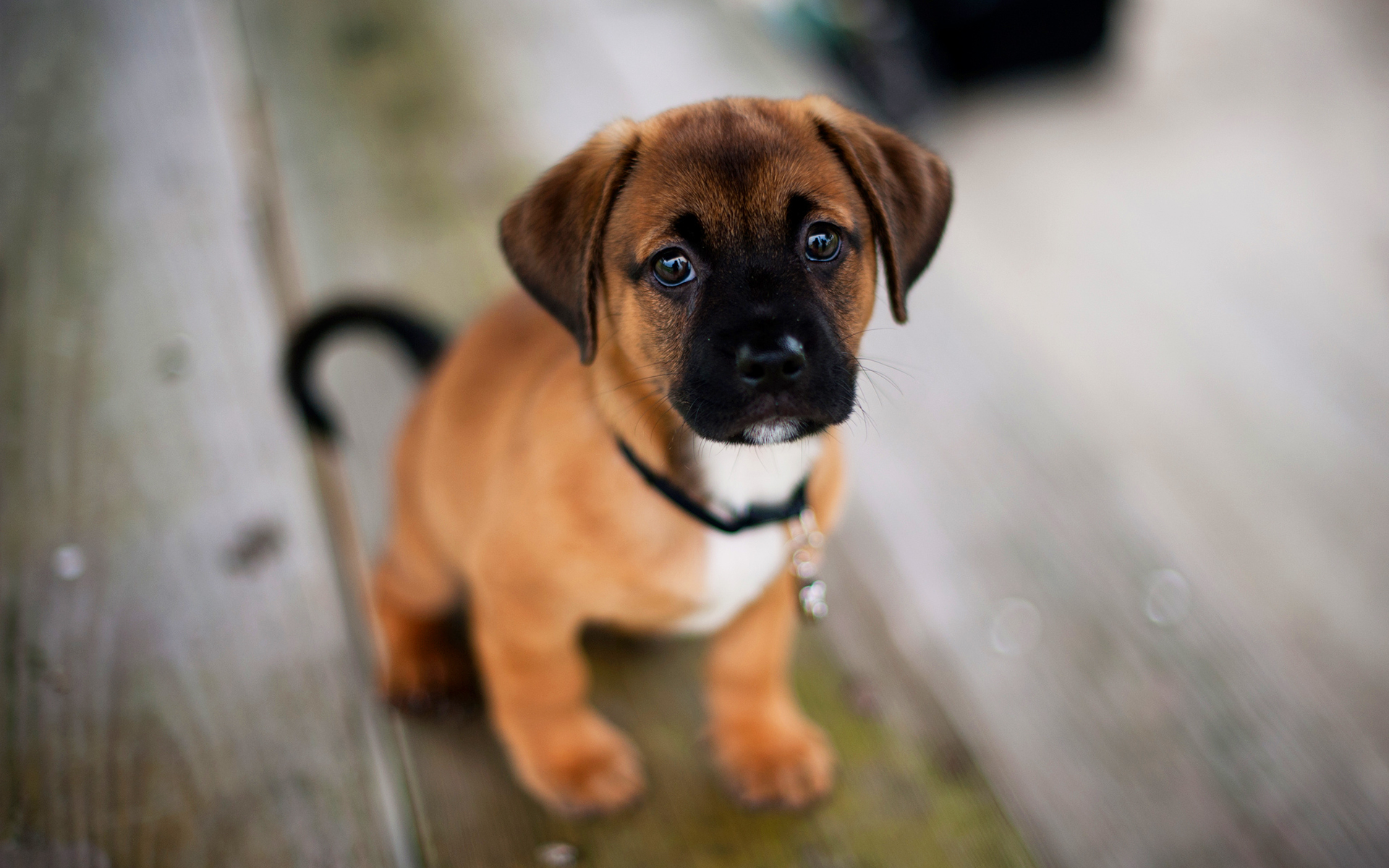 hd puppy wallpaper