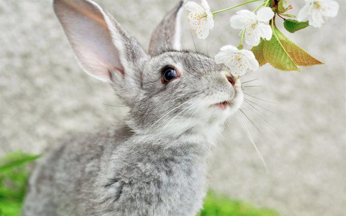 hd rabbit