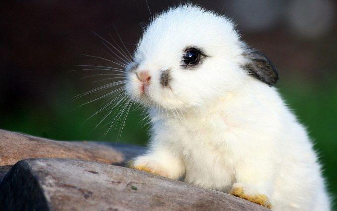 hd rabbit wallpapers