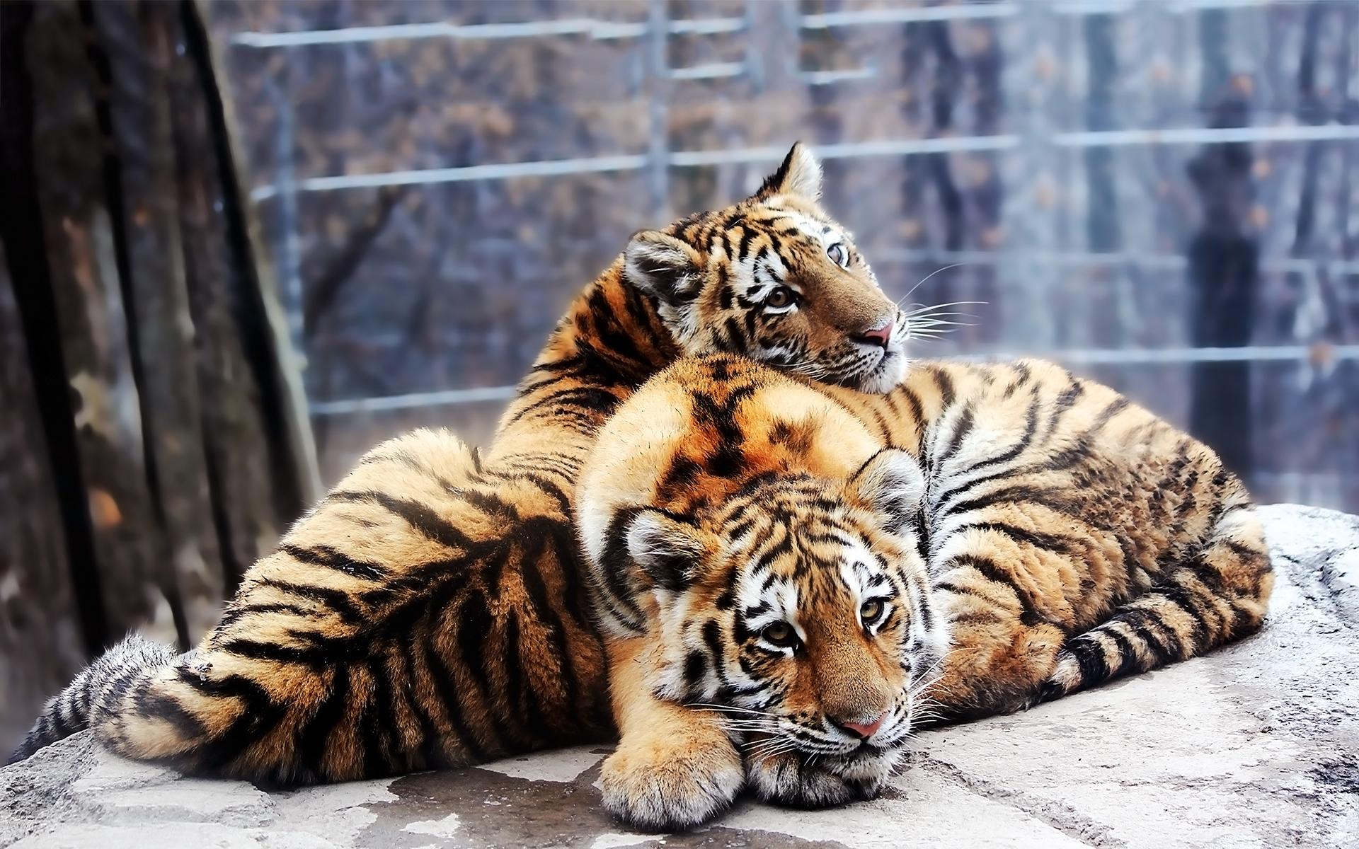 Фото тигров обои на рабочий стол