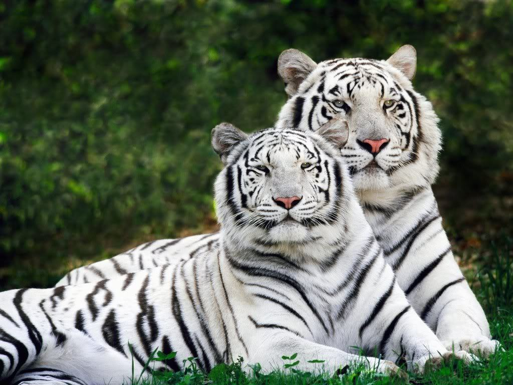 hd tiger pictures