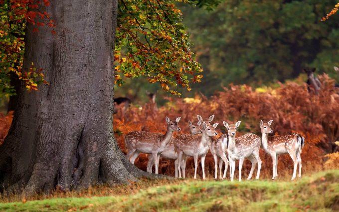 hd wallpaper deer