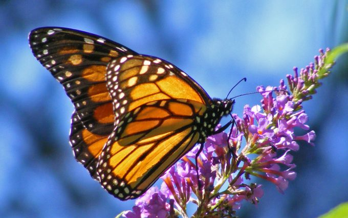 hd wallpapers butterfly