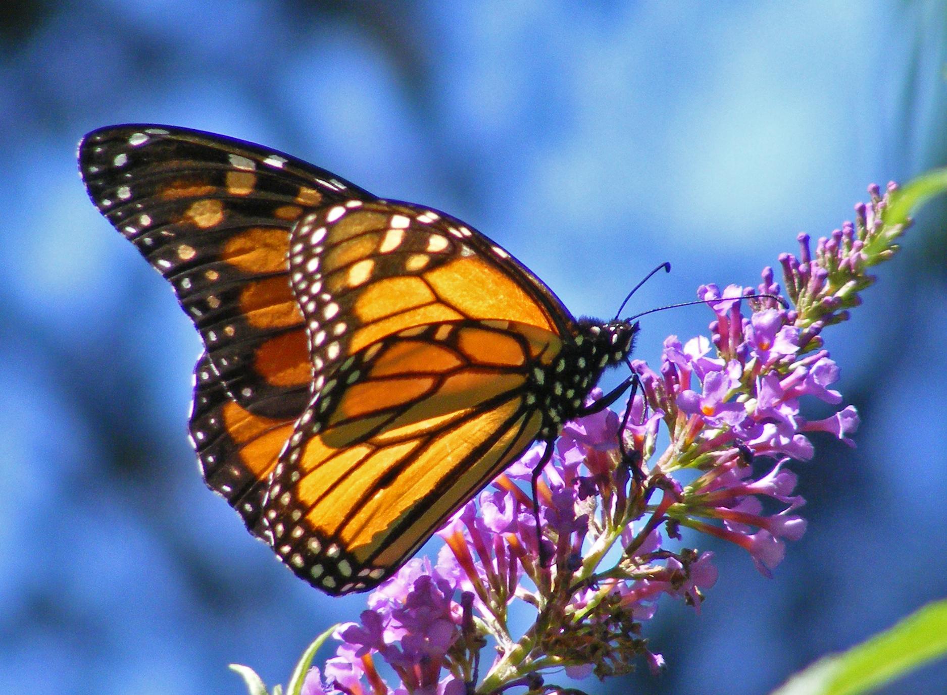 hd wallpapers butterfly  Wallpaper