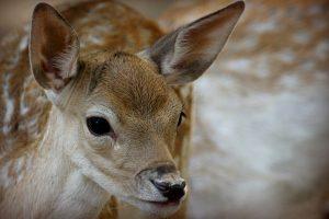 hd whitetail deer wallpapers