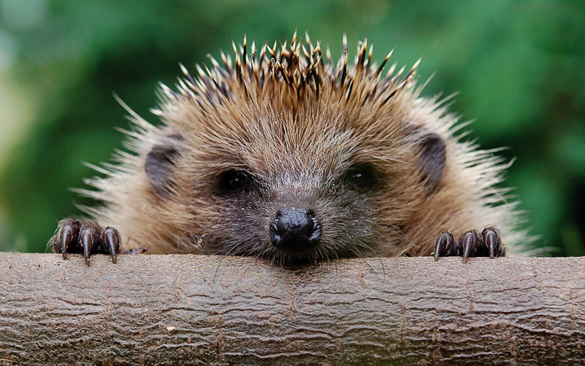 hedgehog wallpaper