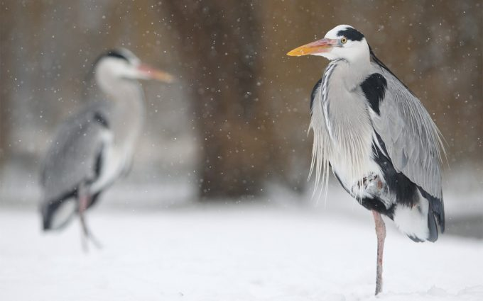 heron pictures hd