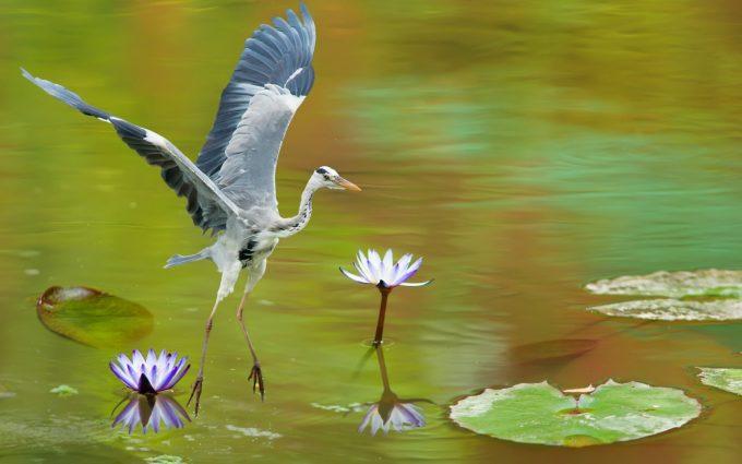 heron wallpaper