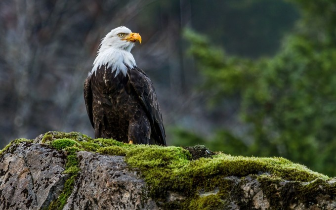 high resolution eagle pictures