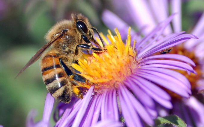 honey bee wallpapers