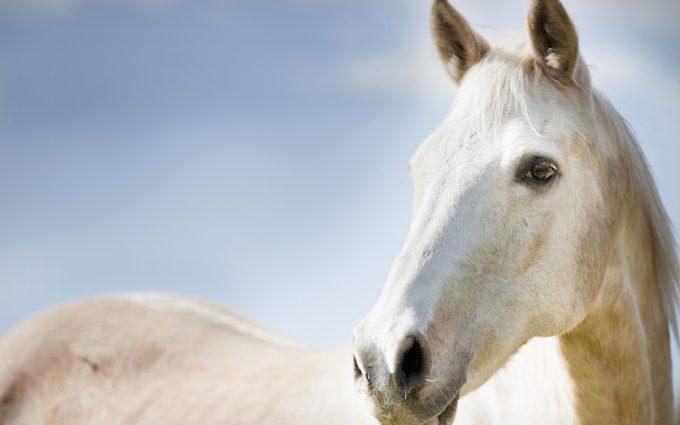 horse face white