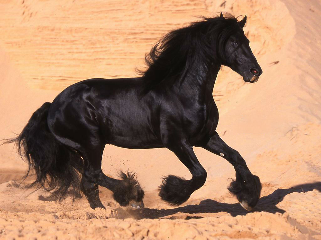 horse pictures black A17