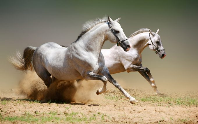 horse pictures white A14
