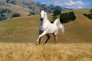 horse pictures white A2