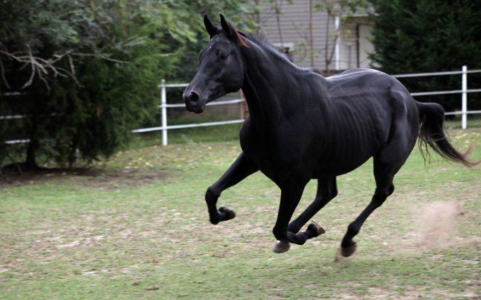 horse wallpaper black