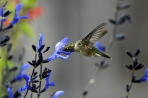 hummingbird desktop backgrounds