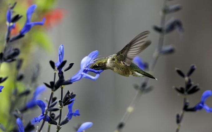 hummingbird desktop backgrounds
