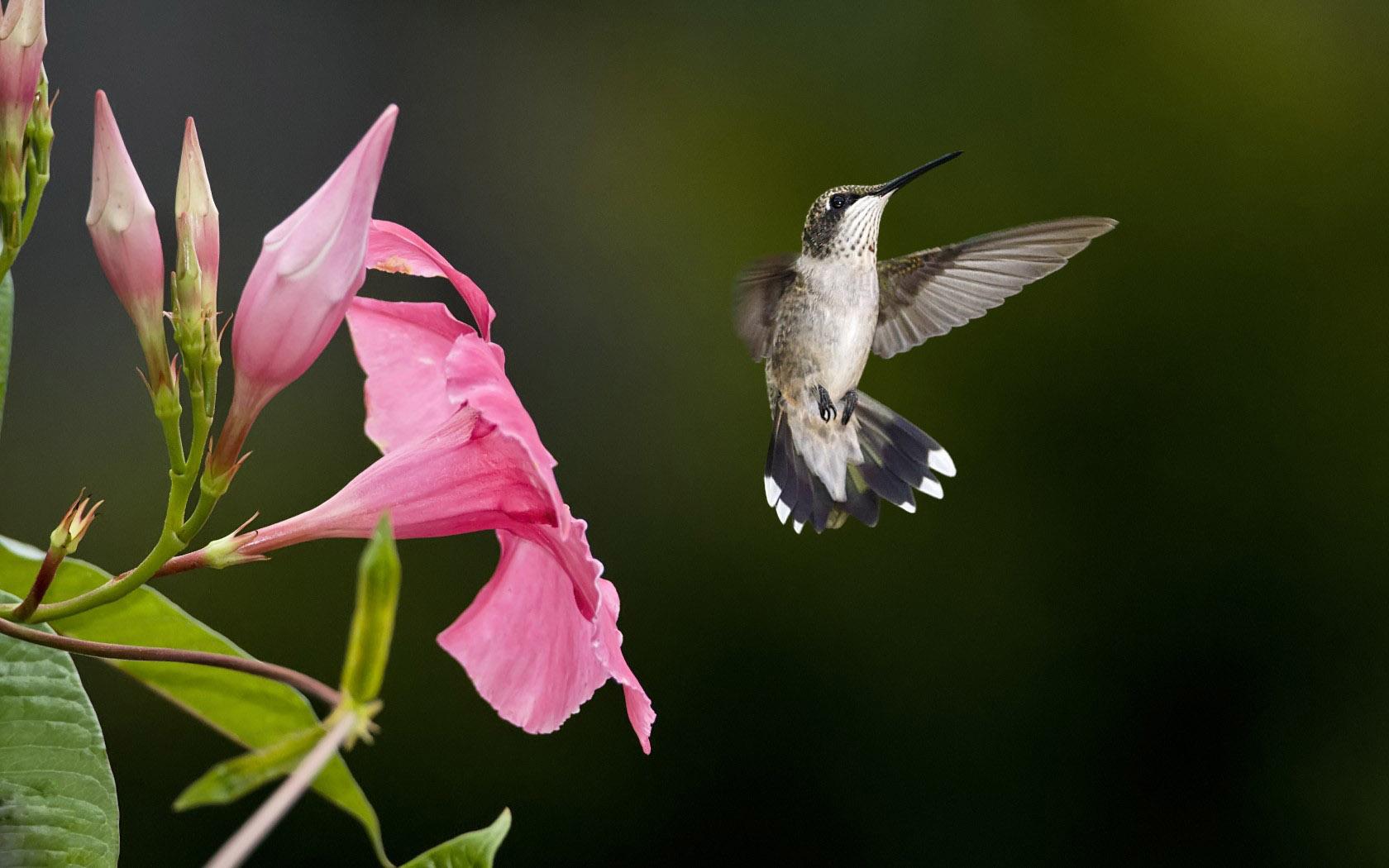 hummingbird images