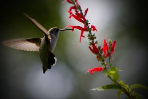 hummingbird wallpaper