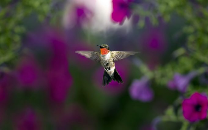 hummingbird wallpaper breed