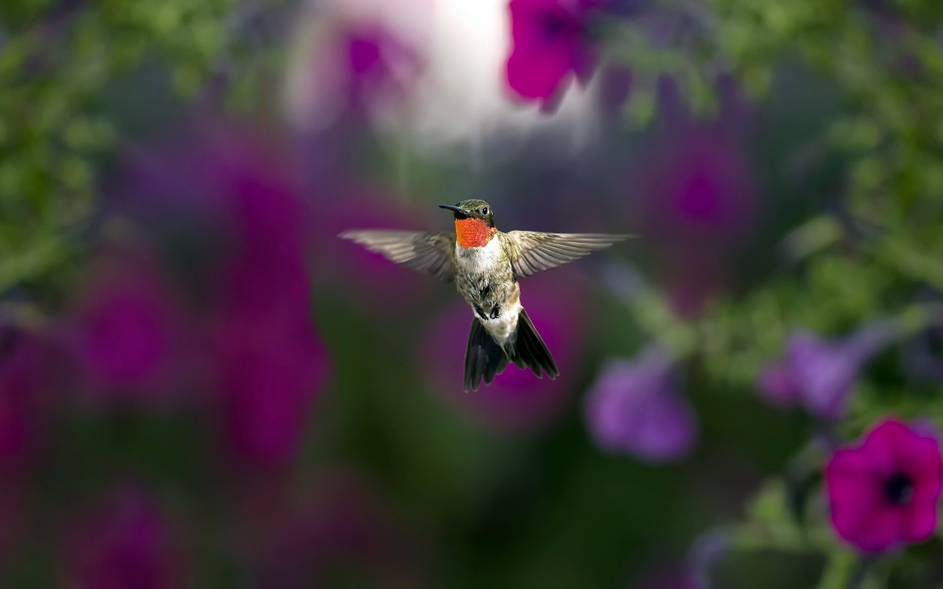Download Free Hummingbird Wallpapers: Hummingbird Wallpaper Breed - HD Desktop Wallpapers