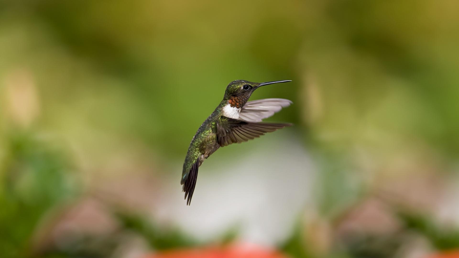hummingbird wallpaper download