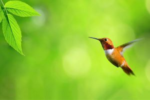 hummingbird wallpaper nature